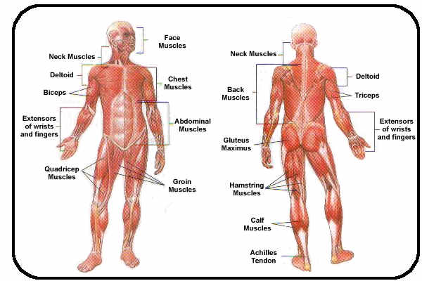 muscular system - sports science, Human Body